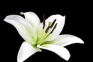 white lily flower wallpaper