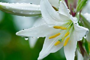 white lily wallpaper
