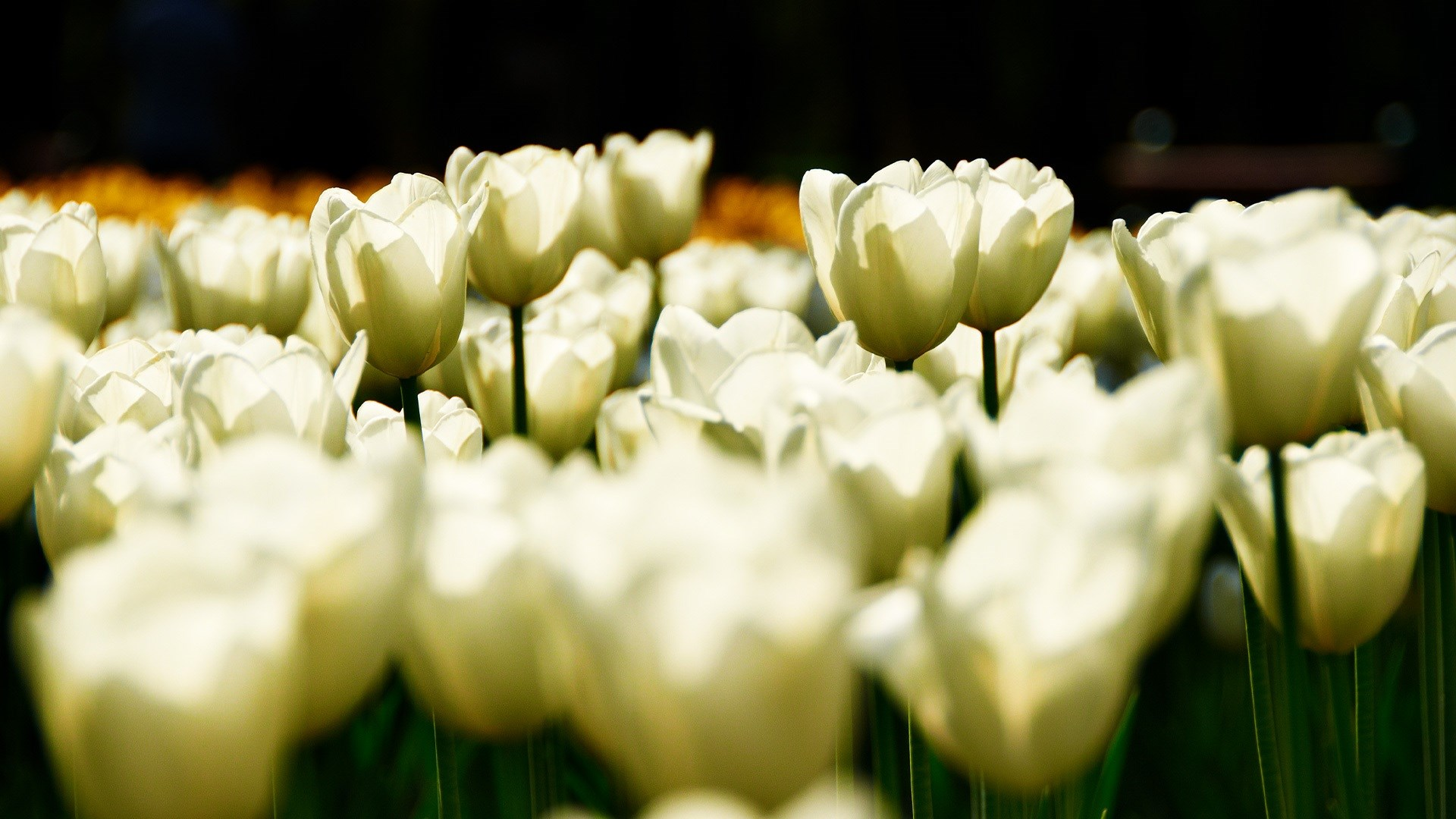 White tulip flower pictures hd desktop wallpapers 4k hd white tulip flower pictures dhlflorist Image collections