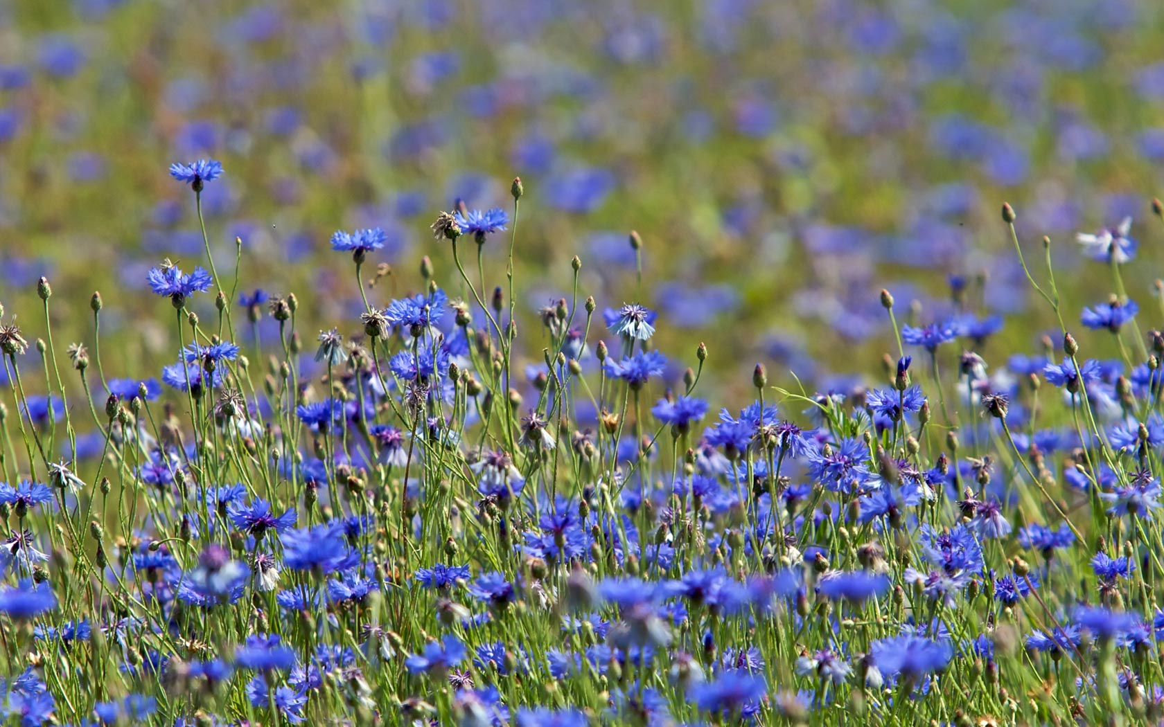 wildflower pictures backgrounds