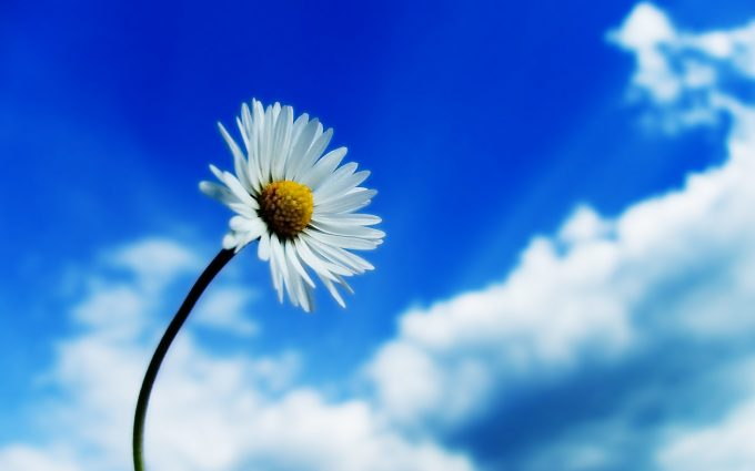 windows 8 daisy wallpaper