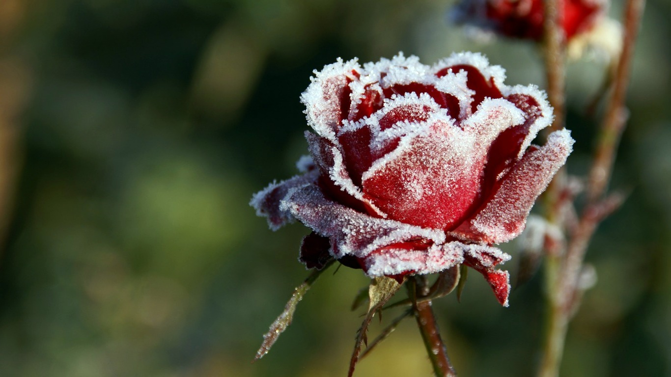 Winter Flower Free Hd Desktop Wallpapers 4k Hd