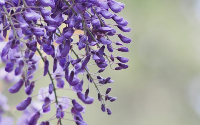 wisteria flowers cool