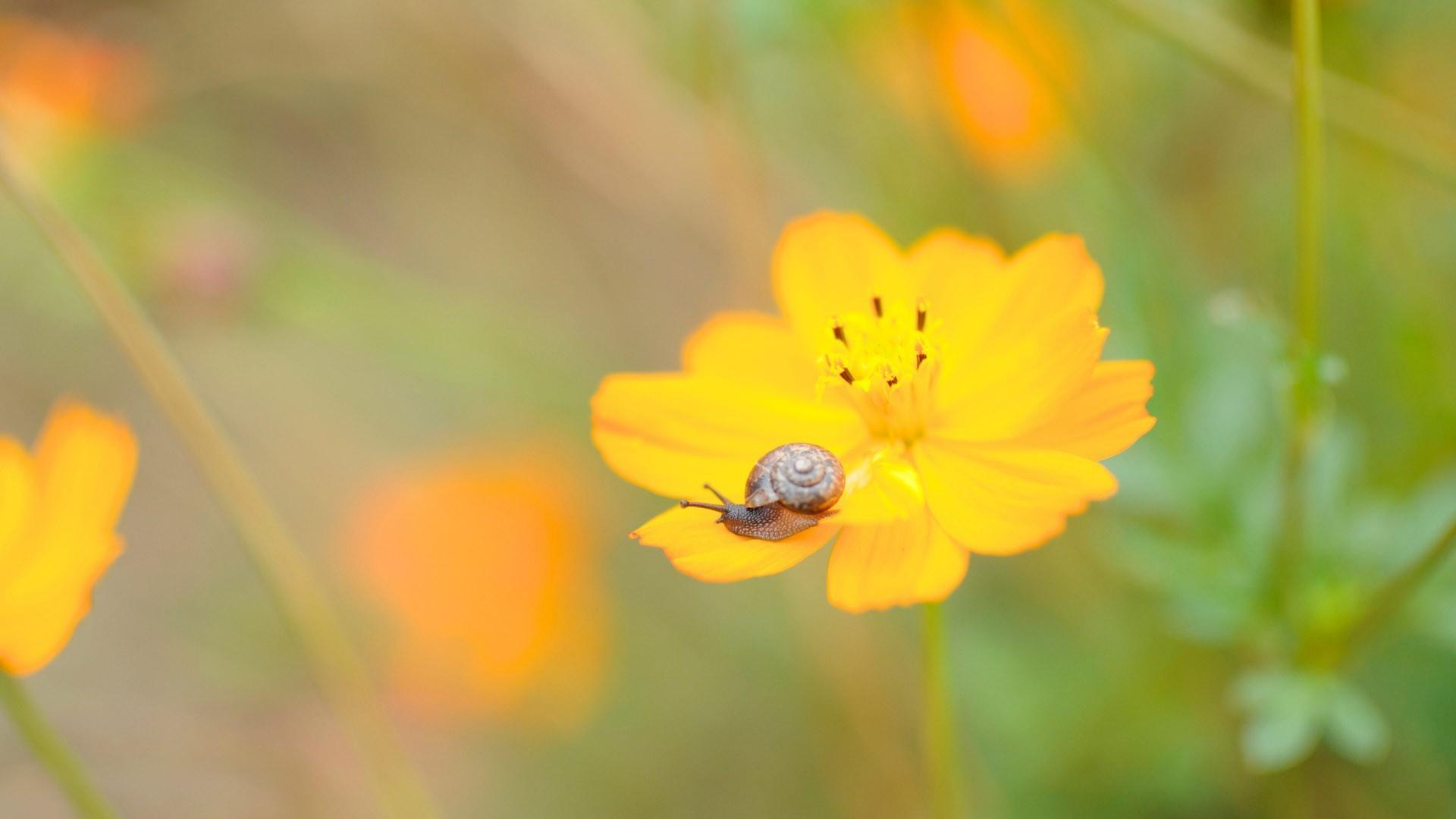 yellow cosmos flower