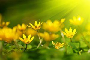 yellow flower A2