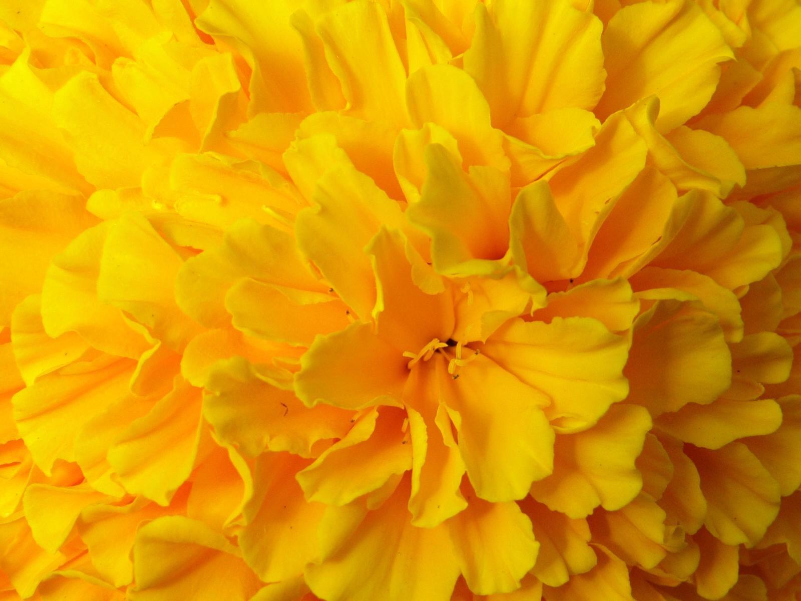 yellow flower desktop wallpaper