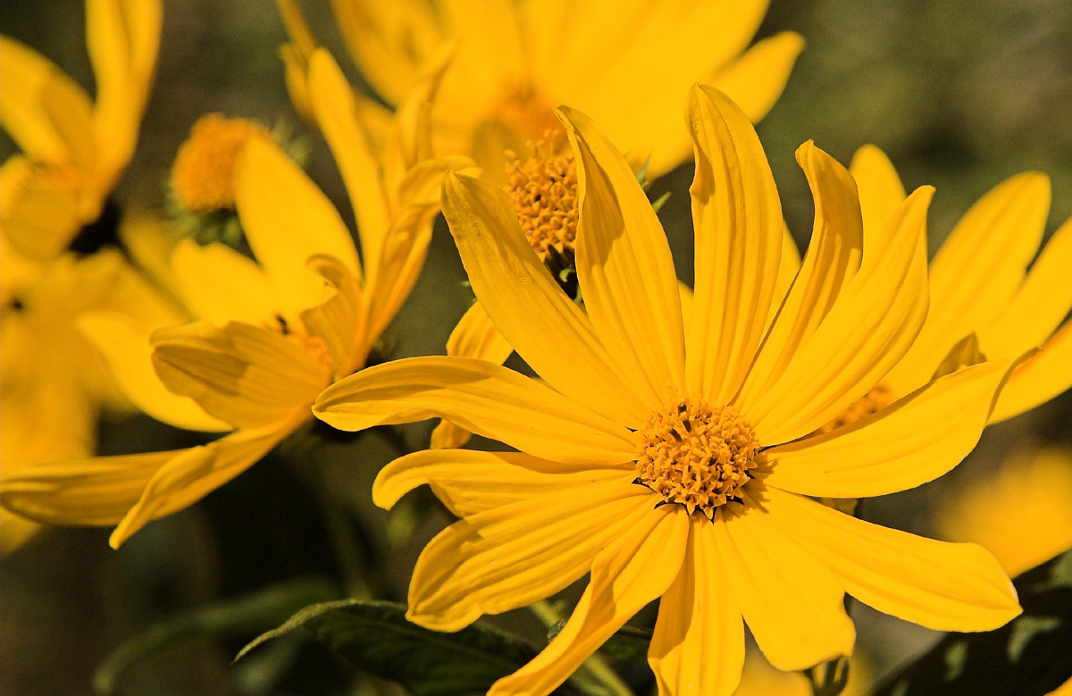 yellow flower picture 1080p