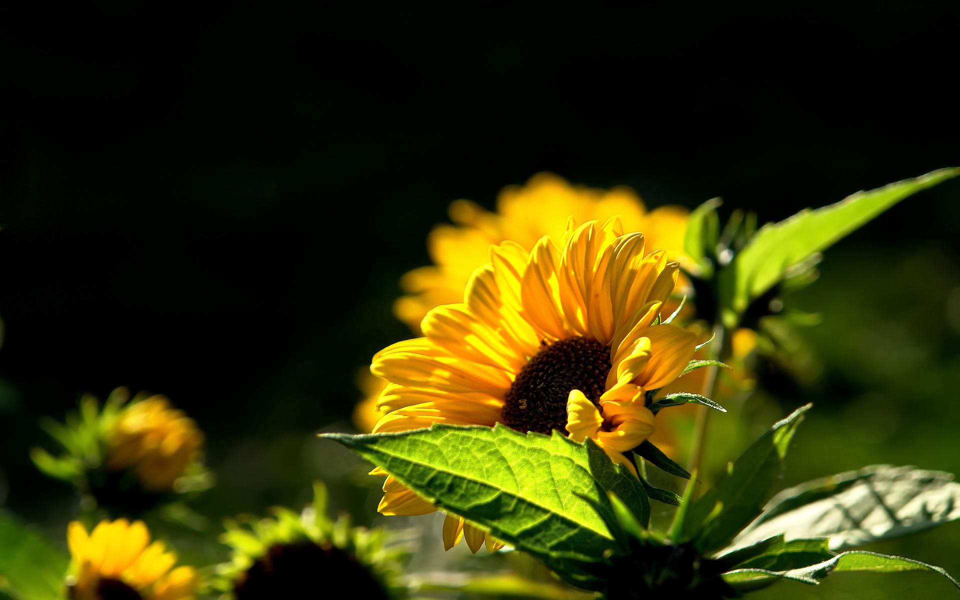 Yellow Flower Picture A1 Hd Desktop Wallpapers 4k Hd