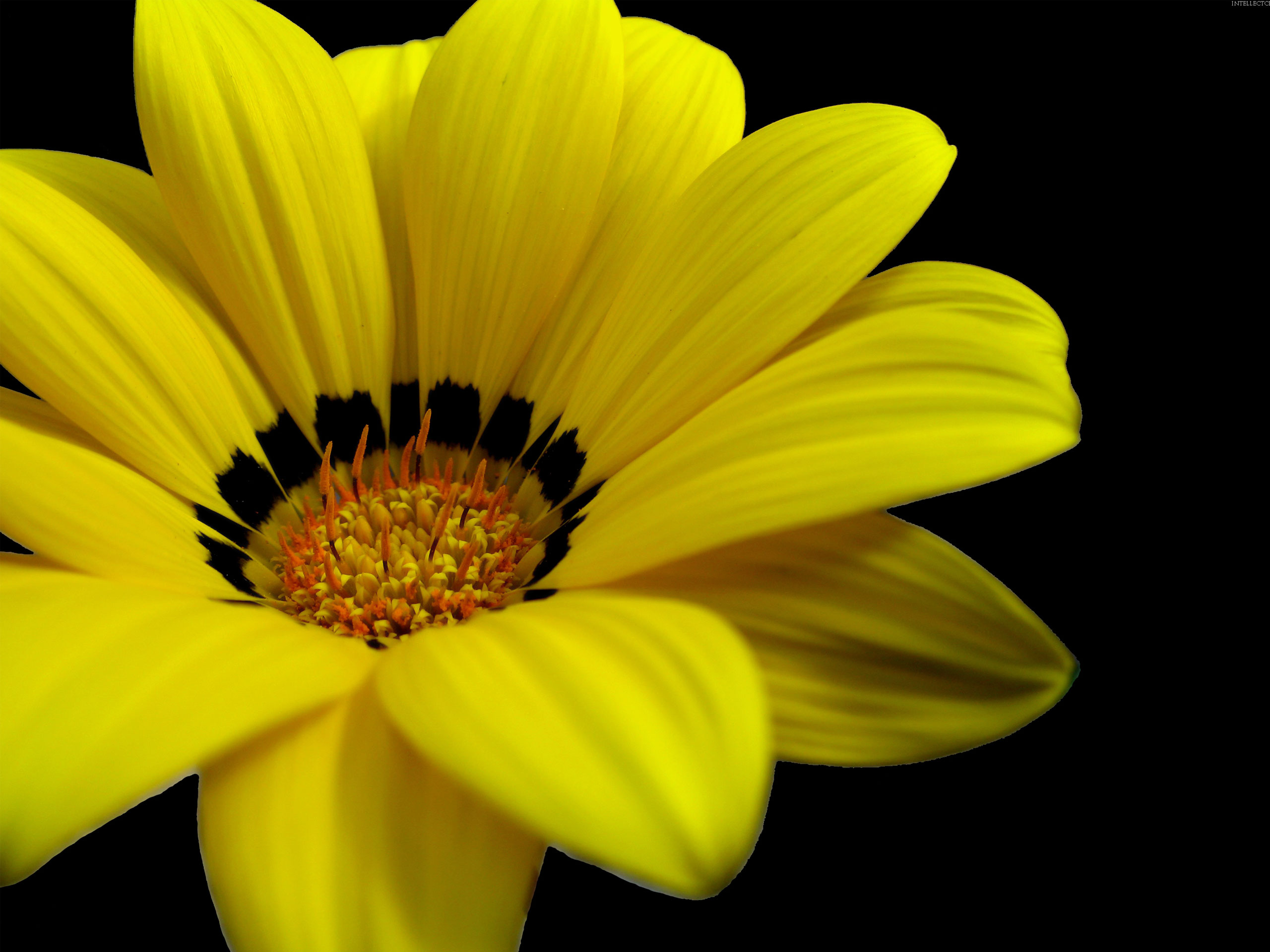 yellow flower picture A2