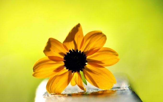 yellow flower wallpaper A11