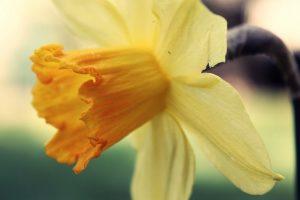 yellow flower wallpaper A12