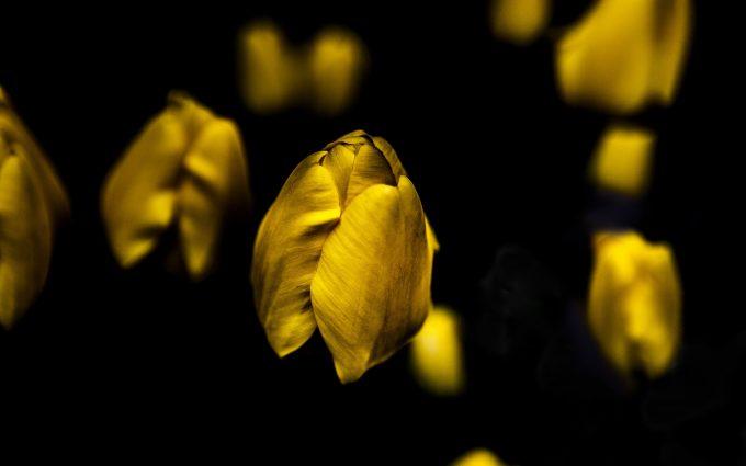yellow flower wallpaper A13