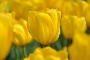 yellow flower wallpaper A15