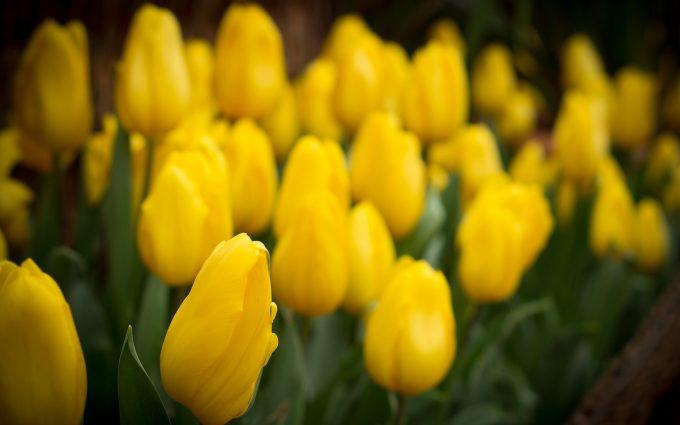 yellow flower wallpaper A16