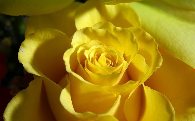 yellow rose wallpaper