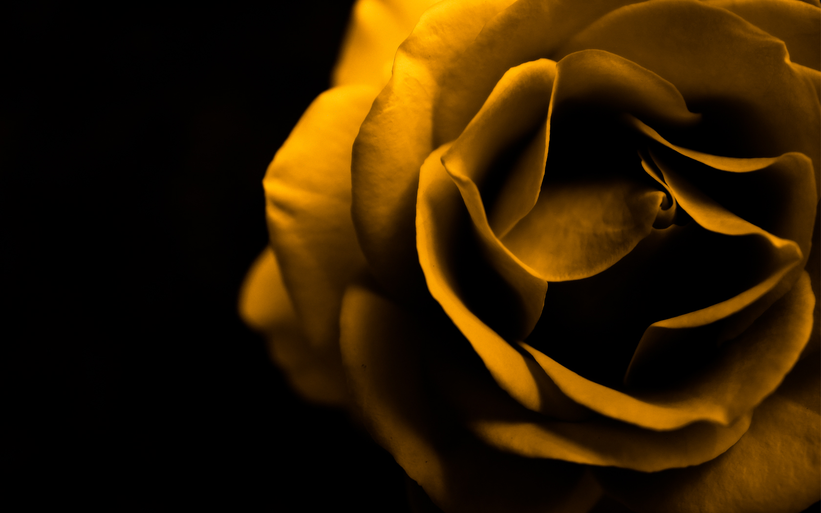 yellow rose wallpaper awesome