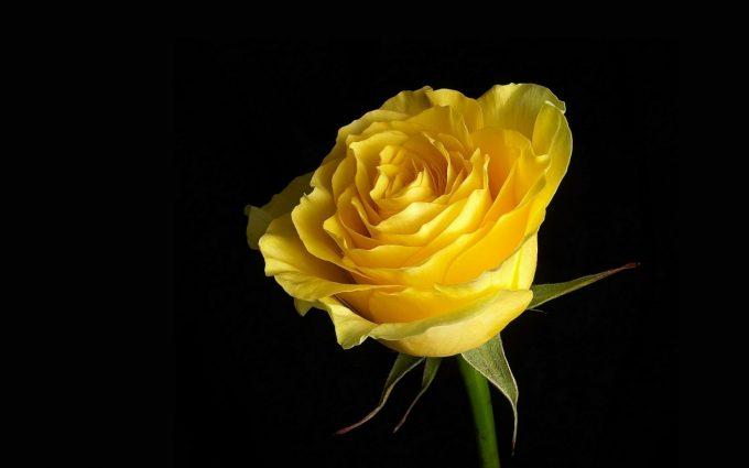 yellow rose wallpaper desktop