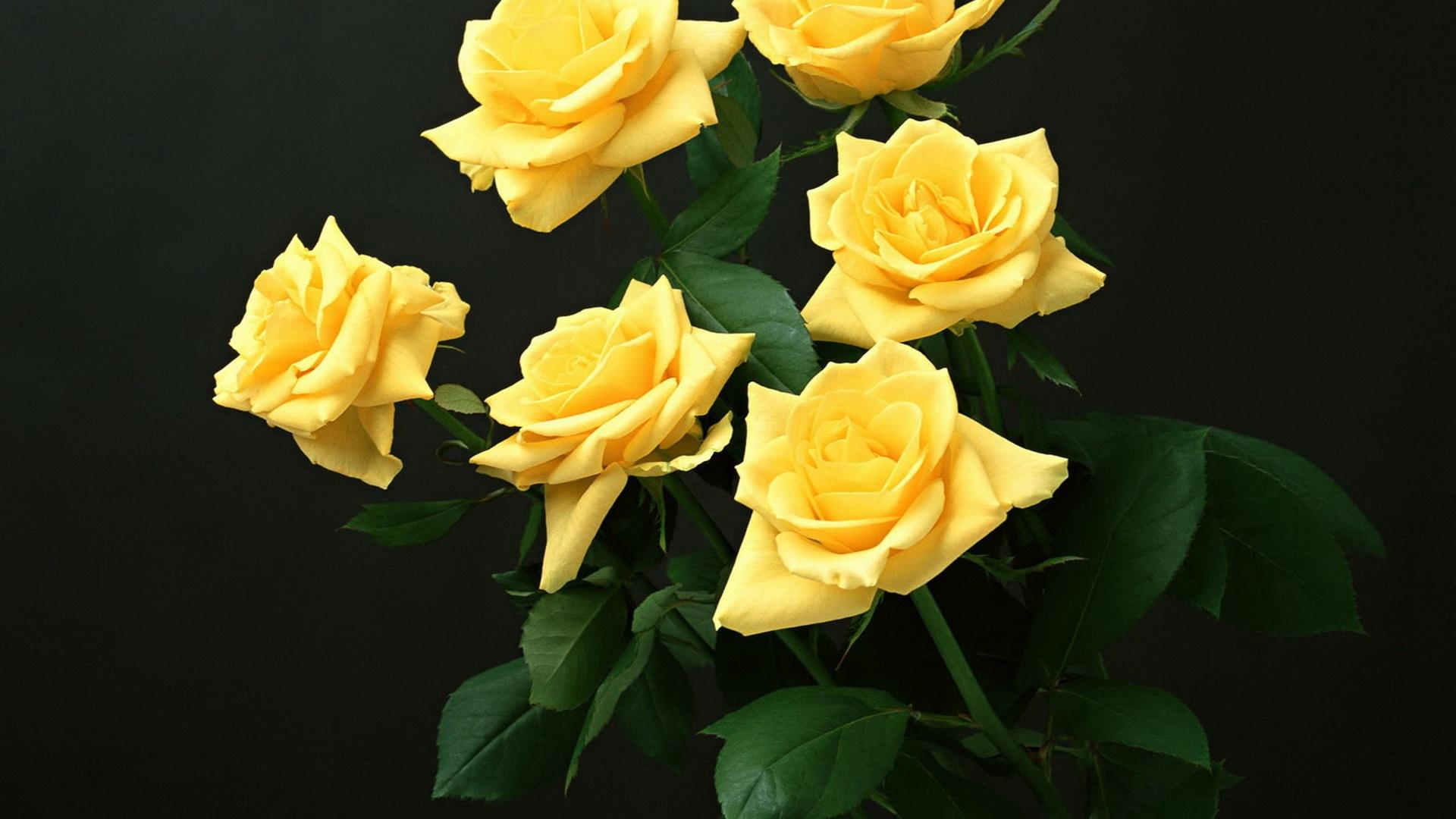 yellow rose wallpaper download