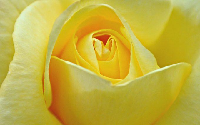 yellow rose wallpaper flower