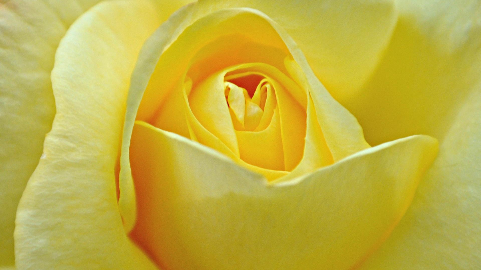 Hd wallpaper yellow flowers - Yellow Rose Wallpaper Flower