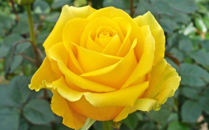 yellow rose wallpaper free download