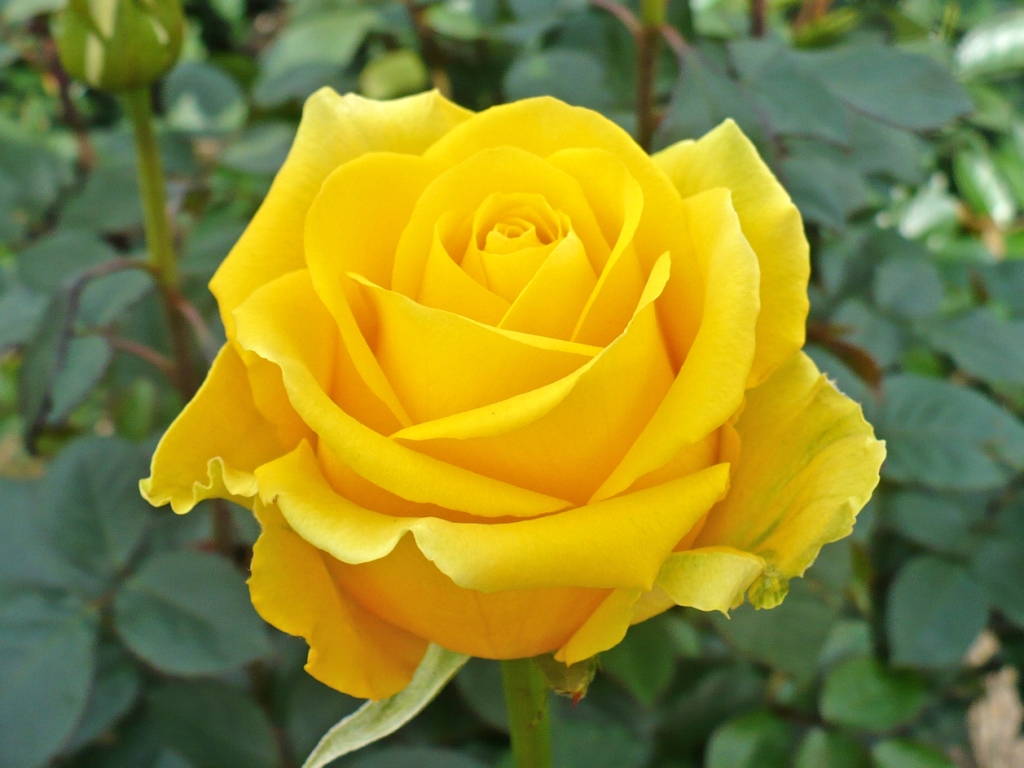 yellow rose wallpaper free download - HD Desktop ...