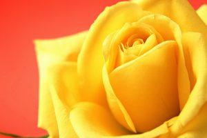 yellow rose wallpaper hd