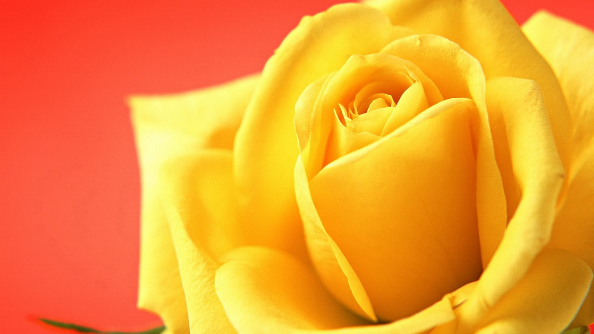 yellow rose wallpaper hd