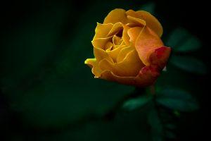 yellow rose wallpaper widescreen