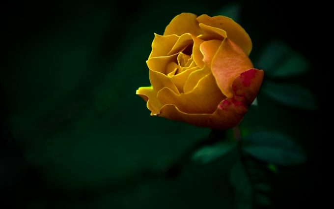 yellow rose wallpaper widescreen