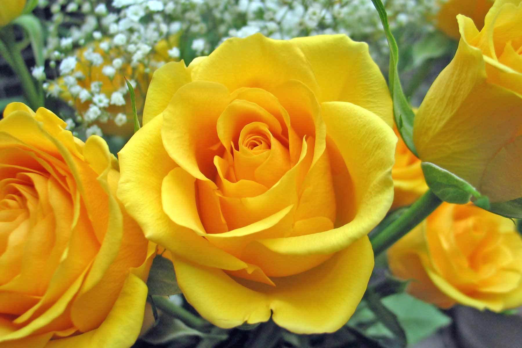 yellow roses wallpaper