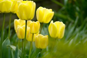 background flowers tulips wallpaper animated yellow nature
