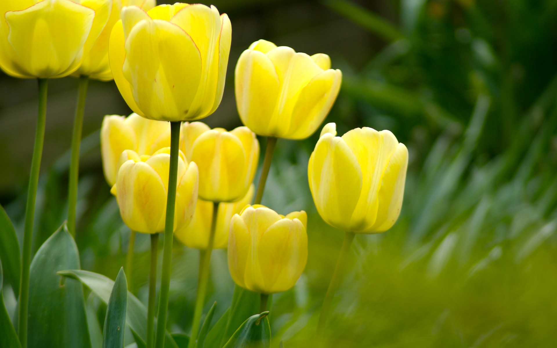 Wallpapers for Desktop with flowers, nature, wallpaper, yellow, animated, background, tulips