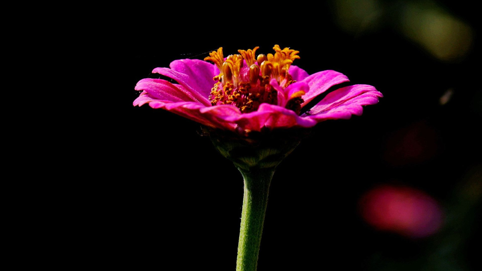 zinnia flower hd