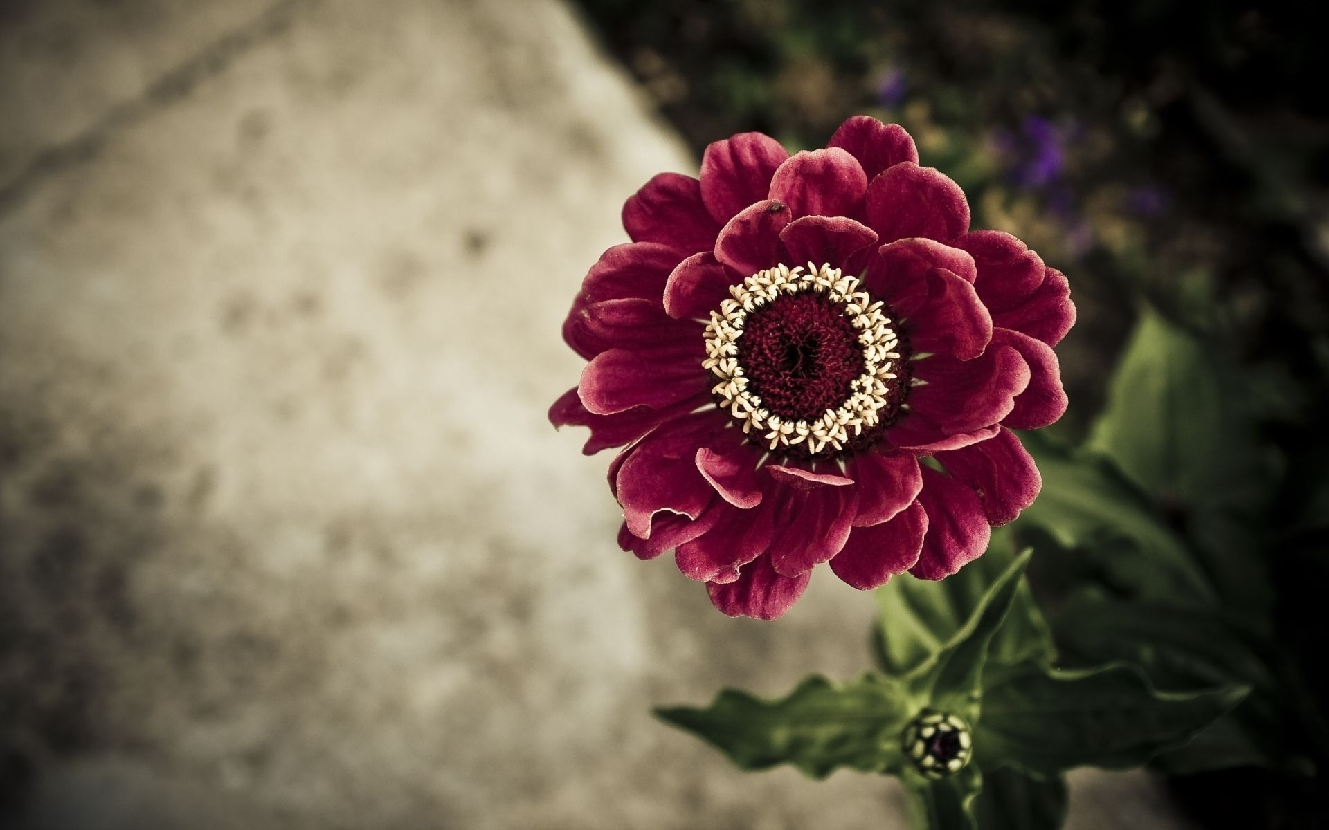 zinnia wallpaper A1