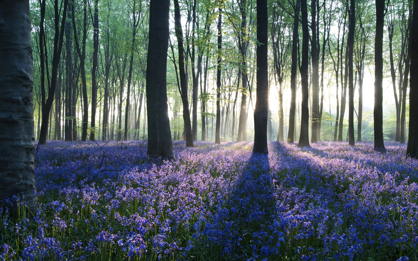 Forest Wallpapers HD purple flowers
