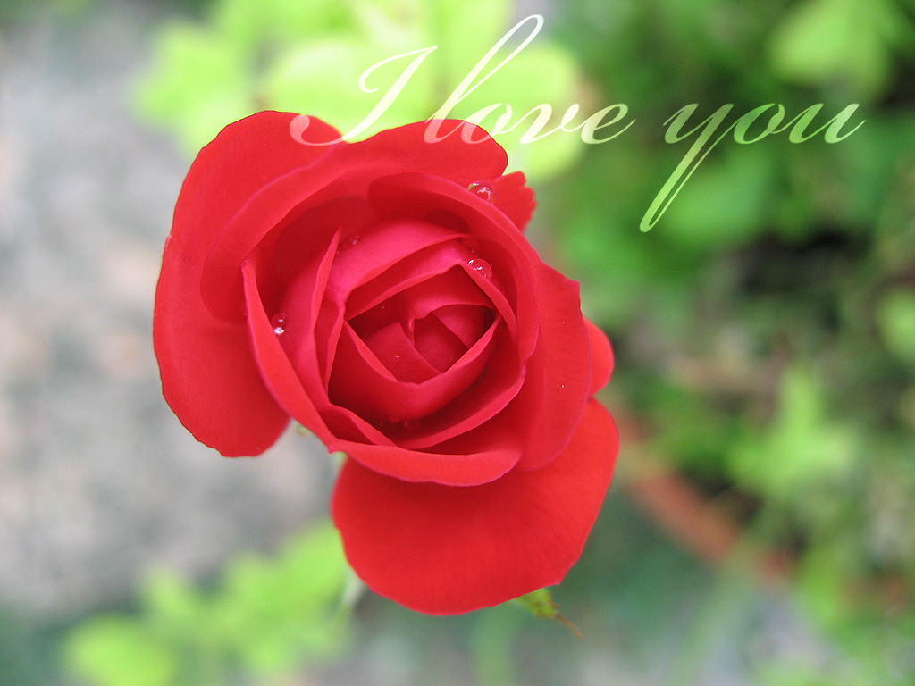 Red Roses Wallpapers HD A39 i love you cute