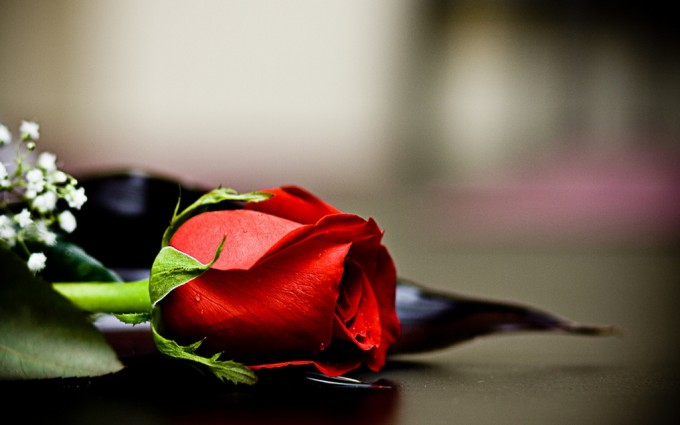 Red Roses Wallpapers HD A39 grey background