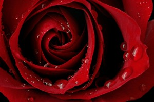 Red Roses Wallpapers HD A39 dew drops