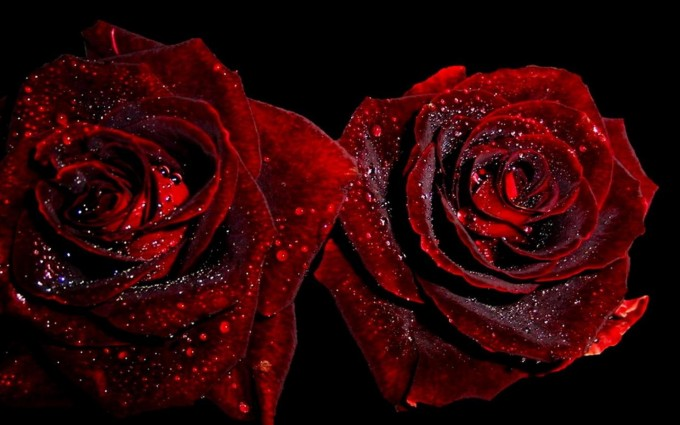 Red Roses Wallpapers HD A39 lovers