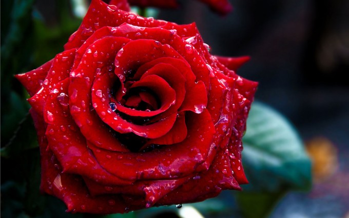 Red Roses Wallpapers HD A39 pure