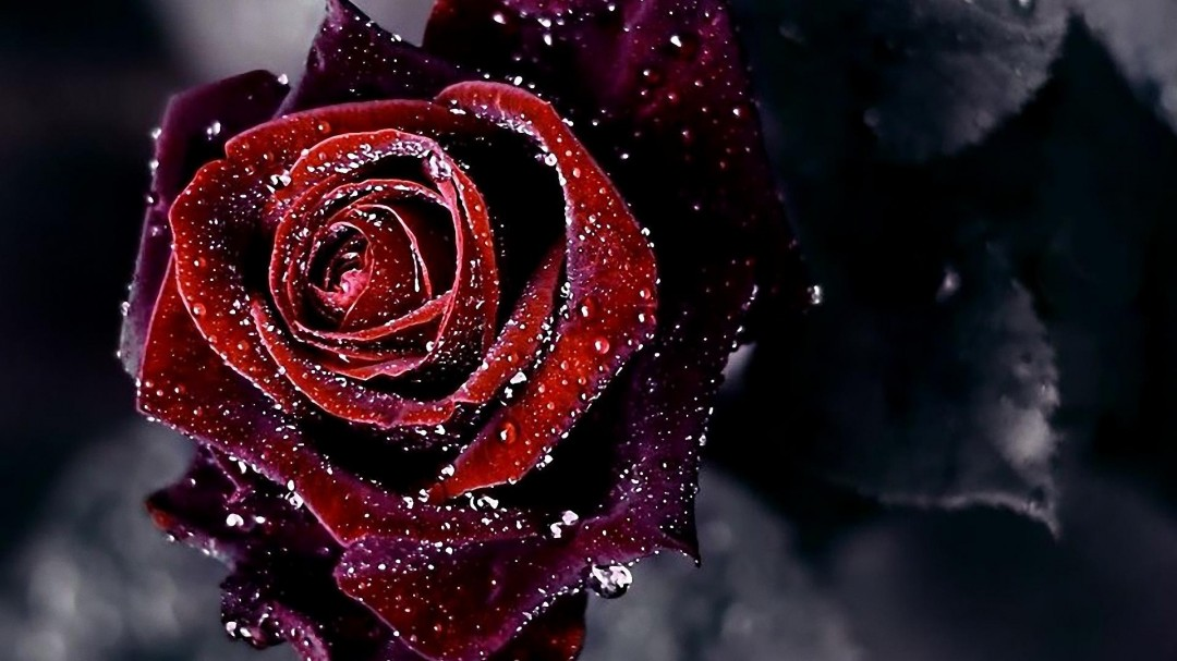 Red Roses Wallpapers HD A39 dark background