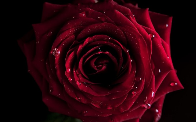 Red Roses Wallpapers HD A39 dark