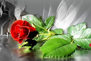 Red Roses Wallpapers HD A39 single