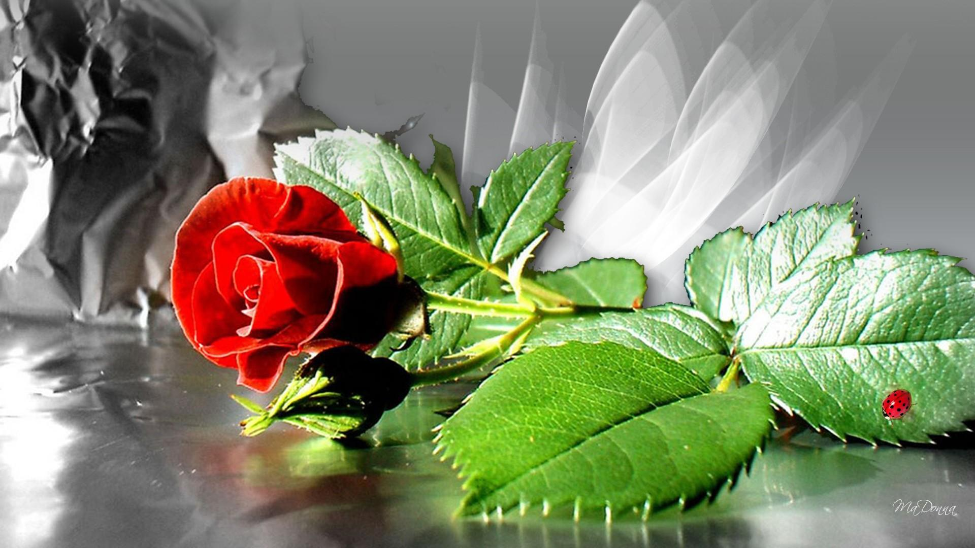 Red Roses Wallpapers HD A38