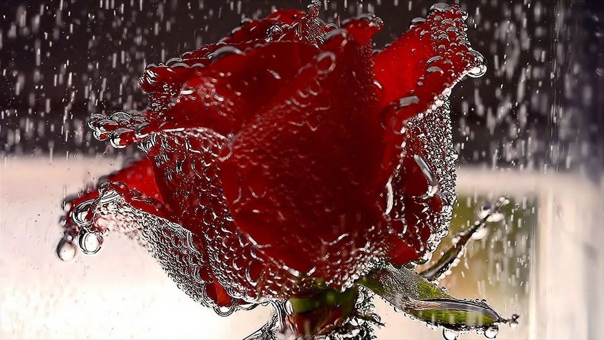 Red Roses Wallpapers HD A39 rain