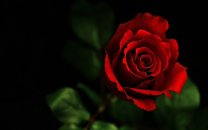 Red Roses Wallpapers HD A39 single rose