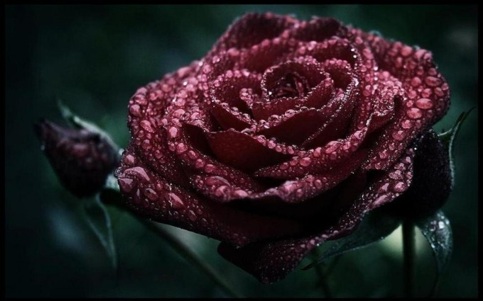 Red Roses Wallpapers HD A39 dark roses