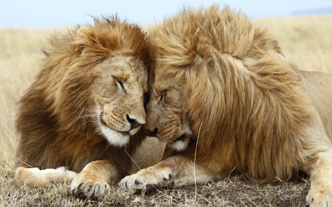 Romantic Wallpapers Lion HD A4 - Free Romantic Wallpapers, Romantic Couples, Romantic Love Wallpapers, Romantic Kiss Wallpapers, high definition desktop laptop mobile background Pictures images downloads.