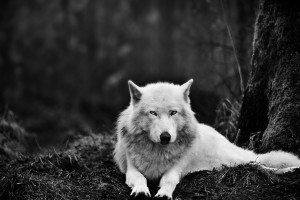 arctic wolf wallpaper cool